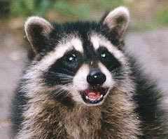 Rocky Raccoon didnt even have a chance to instill vengance in our hearts. In the name of the father, the son and the Holy Spirit.