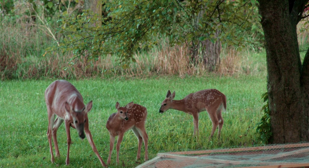 It was REALLY quaint when mama deer started pushing baby deer on our tire swing.